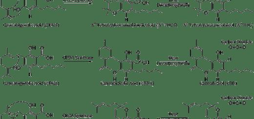 Canna-Biosynth-Blog-Fig-2