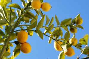 http://www.freeimages.com/photo/limones-1364599