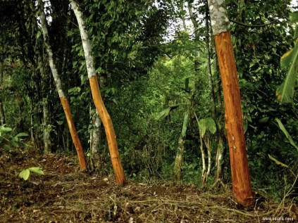 d-cinnamon-tree-striped-1373963905
