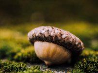Cork oak's acorn