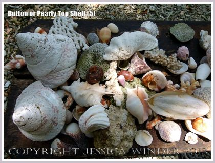 Button or Pearly Top Shell (5) - Worn specimens of Button Top among natural treasures found on the beach and displayed on a table top among the trees. Trochus (Tectus) niloticus Linnaeus found on the shore of Normanby Island off the coast of Northern Queensland, Australia. The mother-of-pearl from this type of shell was and still is used commercially for making buttons and similar decorative objects.