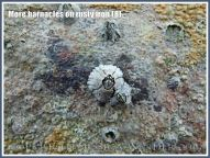 More barnacles on rusty iron (8) - Acorn or sessile barnacles living on an iron seaside pier corroded by sea water.