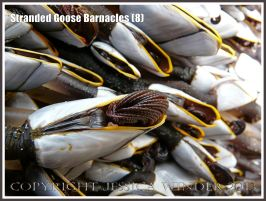 Goose Barnacle stranded on beach out of water showing almost fully withdrawn cirripede appendages.