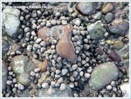 Common Periwinkles on beach stones at Mumbles