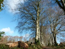 Logs from a felled tree in a mature beech avenue