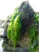 Lush, soft, bright green seaweed glistening on a boulder on the Worms Head Causeway.