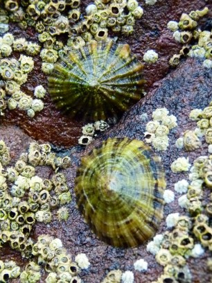 Limpets and barnacles on red Devonian rocks at Smerwick Harbour