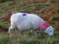 One of the punk sheep with red and purple markings and pierced ears grazing on Rhossili cliffs