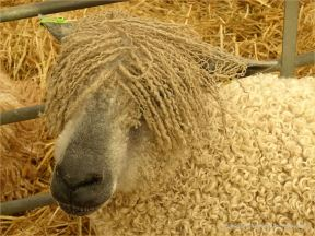 Portrait of a sheep at a county show