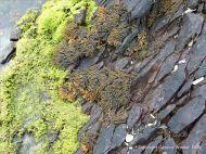 Devonian sandstone strata with black lichens, fucoid seaweed and green algae