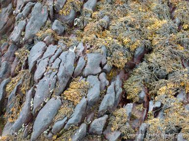 Seaweed on Devonian sandstone bedrock at the beach