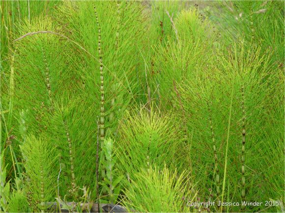 Horsetails growing in wet ground at the coast