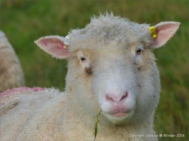 English sheep with pink lips