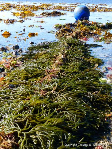Seaweed on mooring rope at Rocquaine Bay