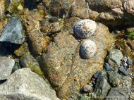 Limpets on L'Eree granite at Rocquaine Bay