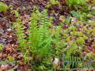 Ferns on the forest floor at Lone Shieling