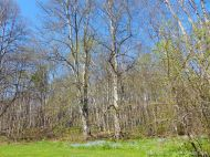 Spring foliage in woodland near Crystal Cliffs Beach