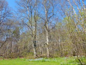 Spring foliage in woodland near Crystal Cliffs Beach