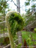 Fern unfurling in St Ann's Provincial Park