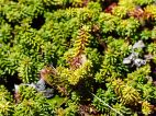 Crowberry plants by the Louisbourg Lighthouse Trail