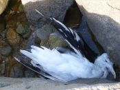 Dead gull on the rocks at Rousse Point