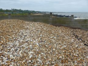 Oyster shells on a shingle strandline between breakwaters