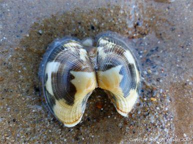 Empty Manila Clam shell on the seashore
