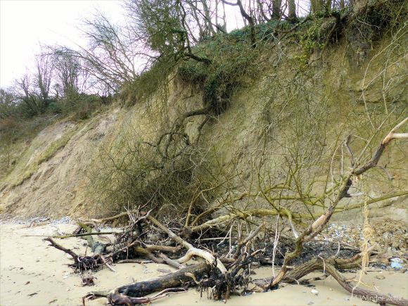 Small trees that have fallen down a cliff as the result of erosion by waves