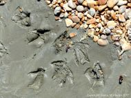 Large webbed seabird footprints with skin impression in soft mud on the beach