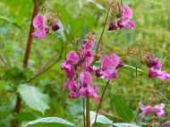 Himalayan Balsam with pink flowers along the river bank