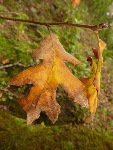 black-oak-fall-leaf-3x4