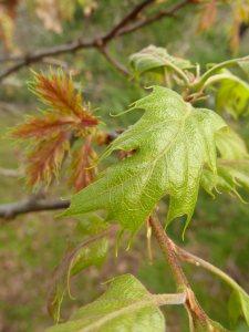 black-oak-new-leaves-3x4-c