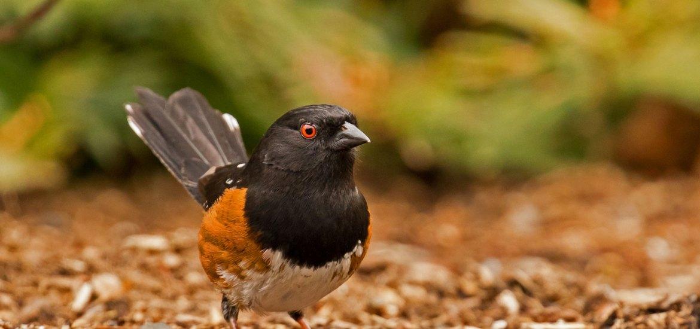 Top Ten Woodland Bird Calls – Nature in Novato