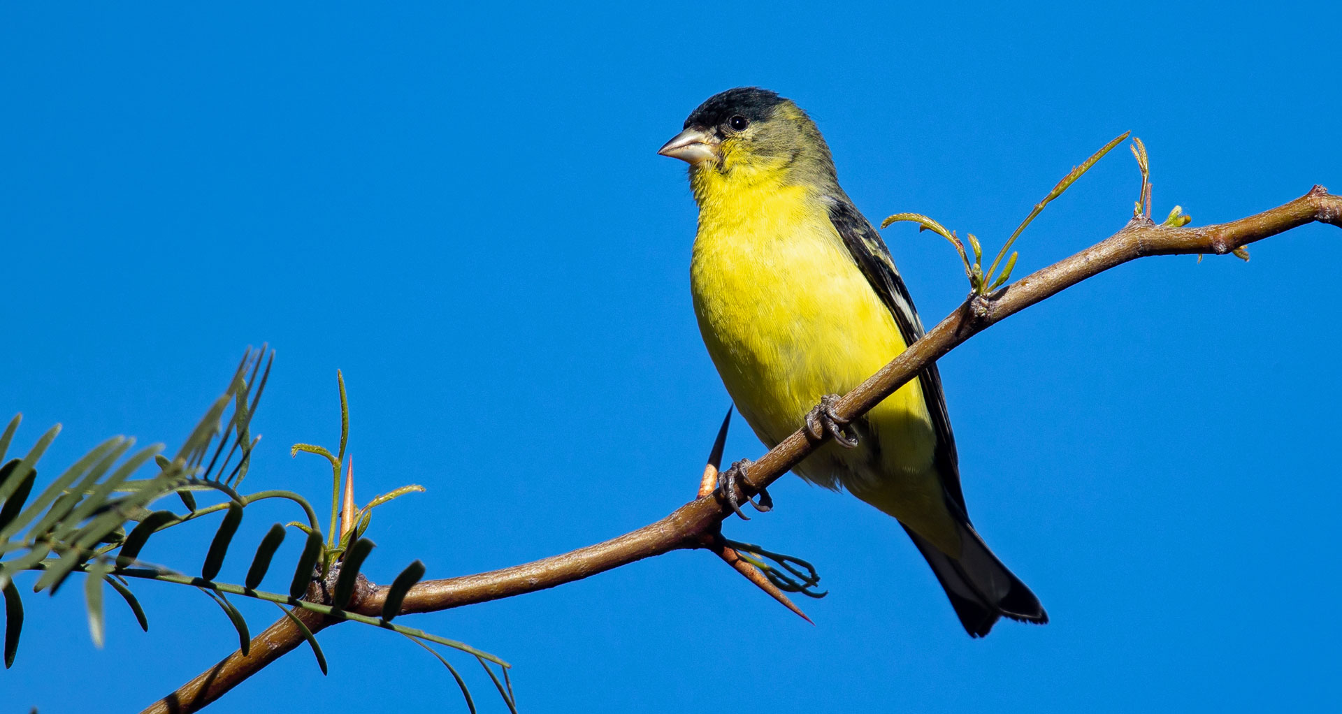 This Goldfinch Is Not Lesser Nature In Novato