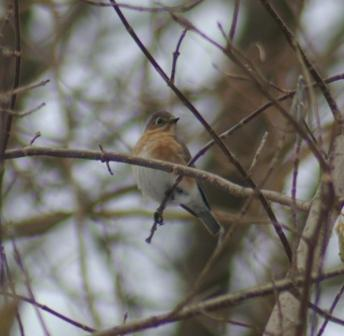 cbc-bluebird-female-or-young-b