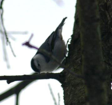 cbc-nuthatch-b