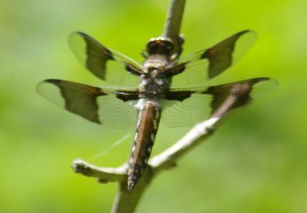 Common whitetail immature male b