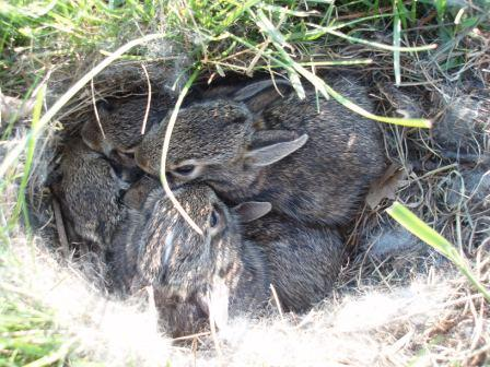 Cottontail nest 12MY