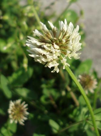 White clover 2b