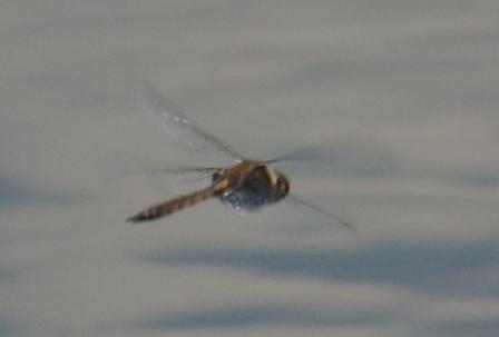 Common baskettail spot b