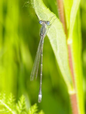 Common spreadwing b