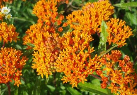 Butterfly weed 1b