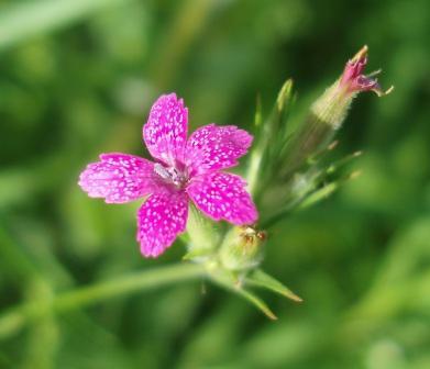 Deptford pink b