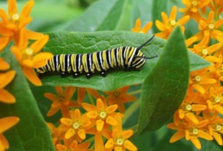 Monarch larva b