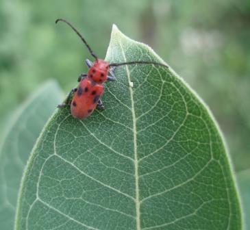 Red milkweed beetle b