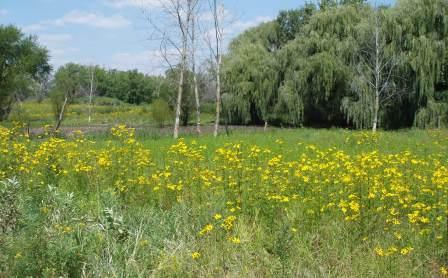 Bur marigold stream marsh 2b