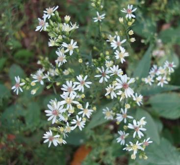 Side-flowering aster 1b