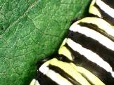 Prolegs of Monarch Butterfly Caterpillar - zoomy