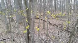 Spicebush Shrub (Lindera benzoin)