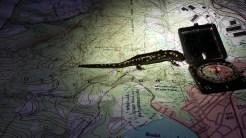 Spotted Salamander, Ambystoma maculatum